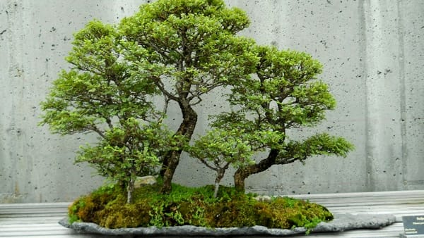 Arte giapponese e bonsai in mostra nel Tepidarium del Roster
