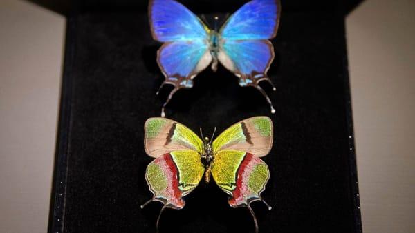"""""""Gioielli a 6 zampe: l'arte per selezione naturale"""": alla Specola cento insetti di rara bellezza"""
