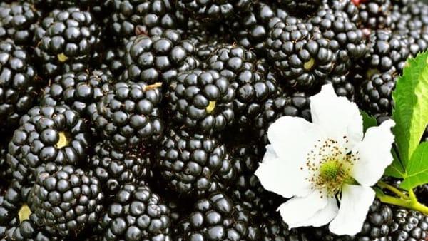 4° Festa della mora, del bosco e dei suoi frutti a Vaglia