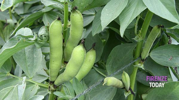 Il bimbo è allergico alle fave: Sesto vieta la semina